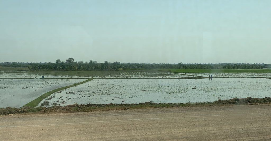 rice growing in paddies