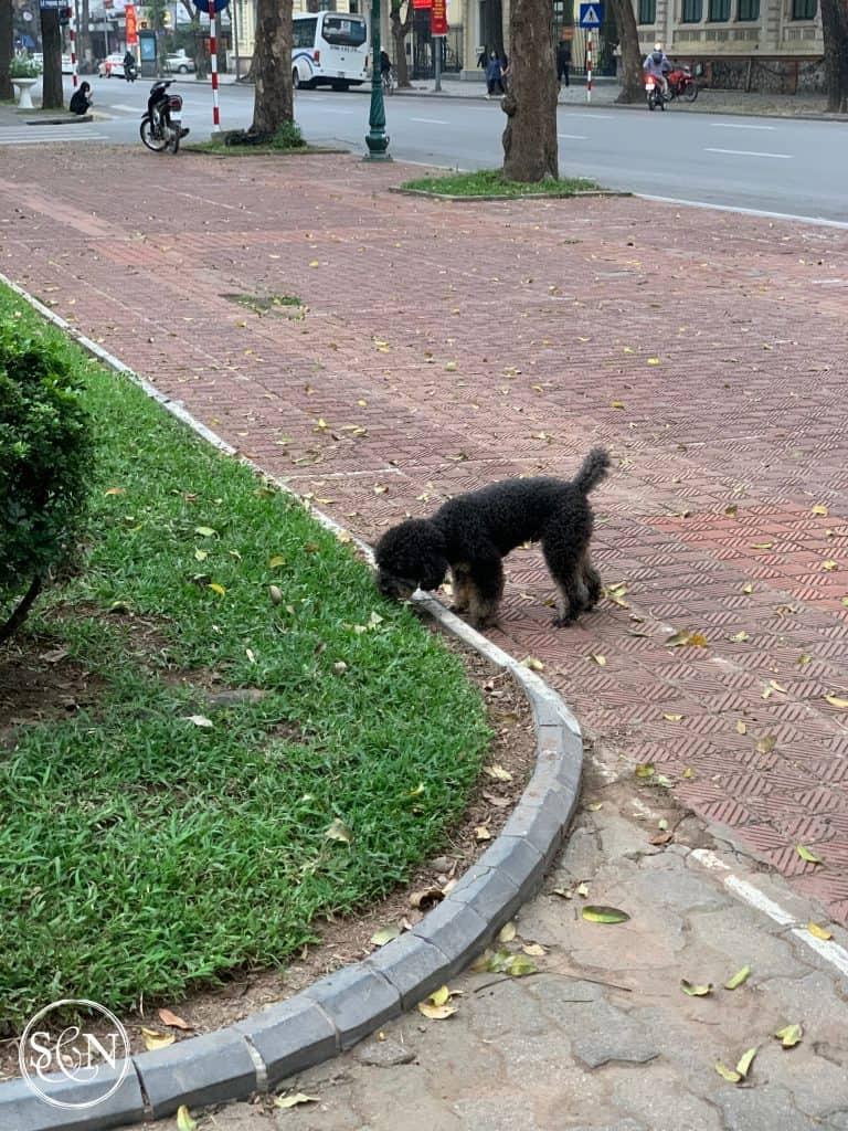 Little dogs of Vietnam